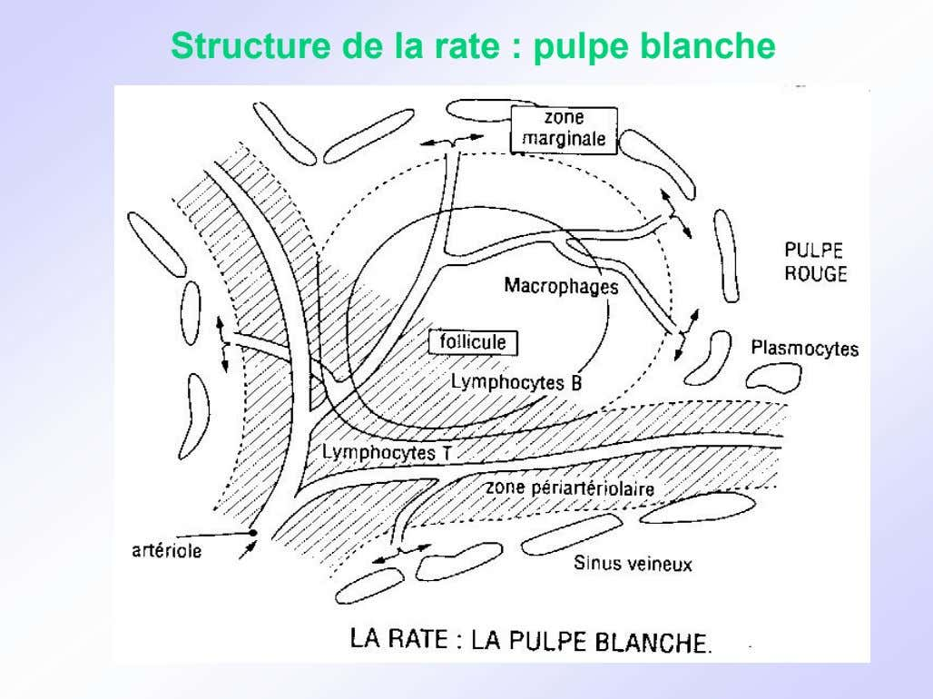 Structure de la rate : pulpe blanche