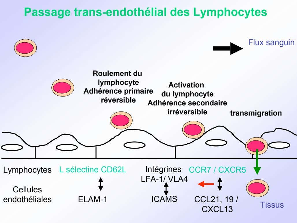 Passage trans-endothélial des Lymphocytes Flux sanguin Roulement du lymphocyte Adhérence primaire réversible