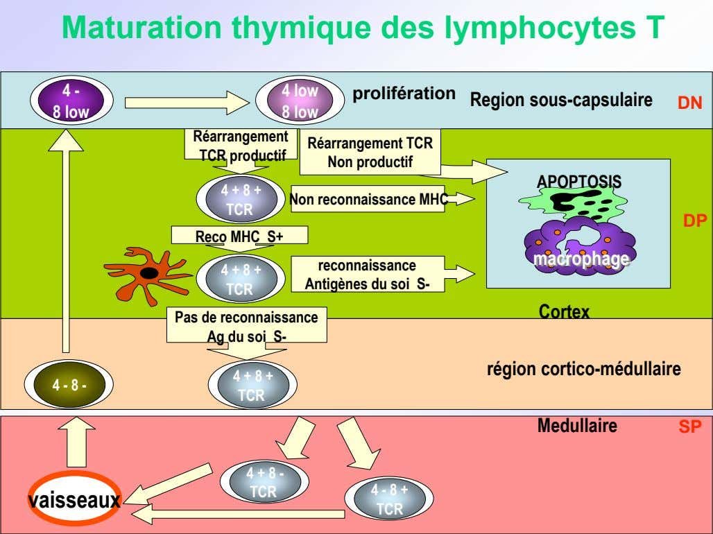 Maturation thymique des lymphocytes T 4 - 4 low prolifération Region sous-capsulaire DN 8 low