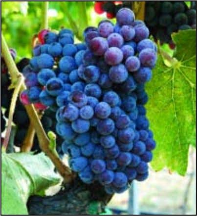 "Zone."" Directly following, seminar participants can join What type of Rhone grapes are these? See page"