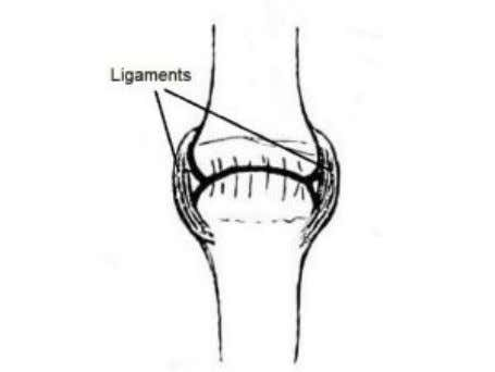the movement of limbs and work in antagonistic pairs. Ligaments Ligaments are strong filament-like structures that