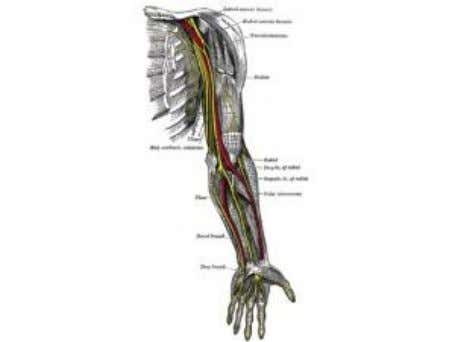 muscles to bones so that muscle contraction causes movement. Nerves Nerves are also filament-like structures, but