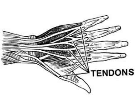 13 Tendons Tendons are similar to ligaments as they are again strong filament-like structures, but their