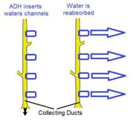25 The main site of the control of water regulation is the collecting duct. When the