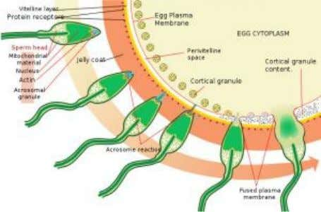 membrane) • Zona Pellucida The process of fertilization Fertilisation is the way in which two haploid