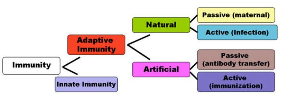 the different classifications of immunity, outlined below. Important Immunity is the way in which the body