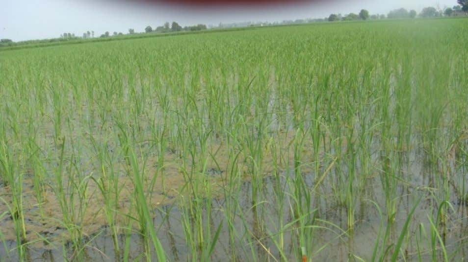 hand and greatly reducing the crop's water requirements. Conventional rice production requires standing water. For