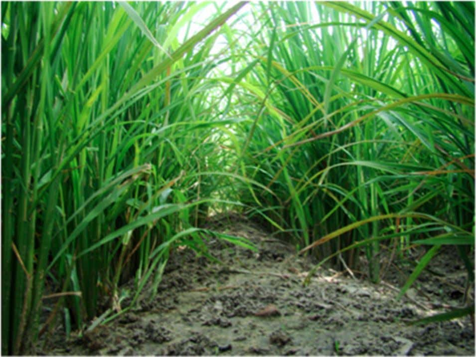 as great as those achieved by the use of the tensiometer. Field of direct-seeded rice. Direct