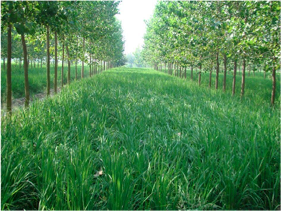 the Green Unlike flooded rice fields direct-seeded rice can be grown amongst tree crops. Revolution—known