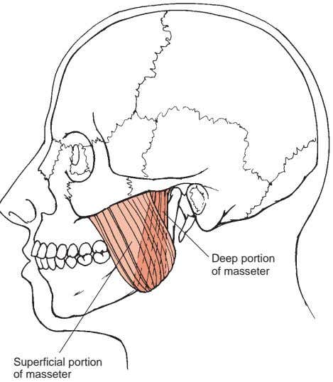 Deep portion of masseter Superficial portion of masseter