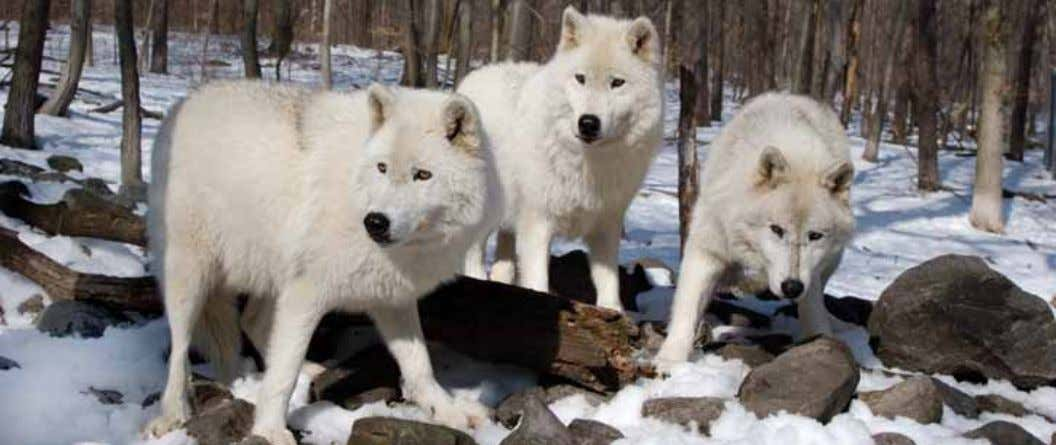 wolves Photo by Dreamstime consulted extensively, and involved focus groups across the territory; this will inform