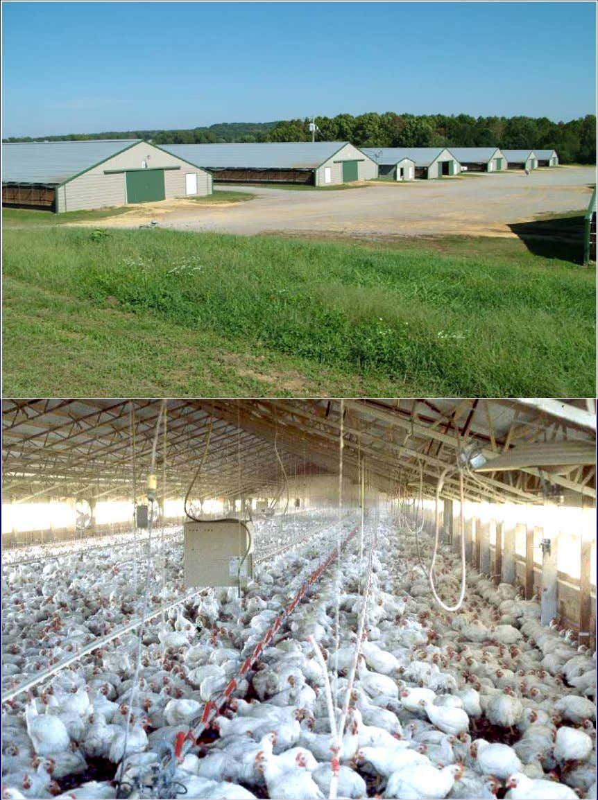 Broiler Broiler Houses Houses • Typically 20,000 - 30,000 birds, 0.75 ~ 0.9 ft 2