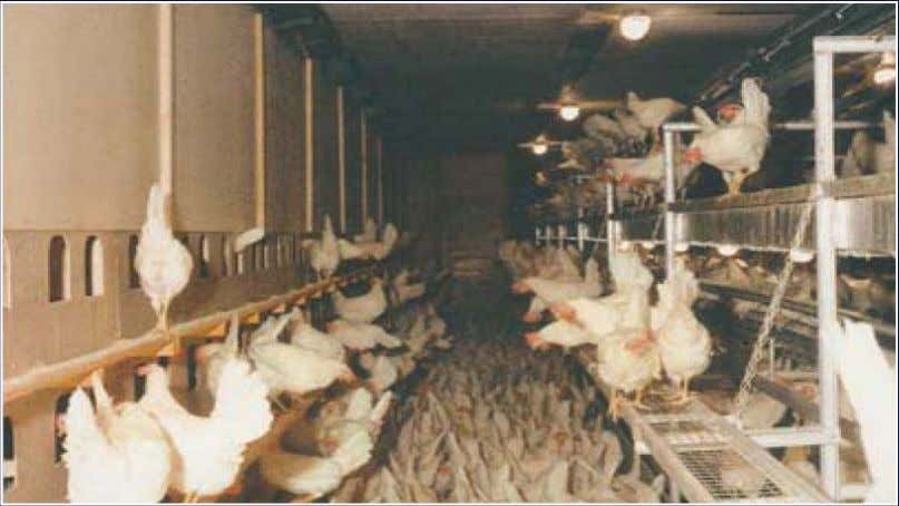 Cage-free Layer House • 5,000 -10,000 hens per house • Littered flooring, nest boxes, perches, dust-