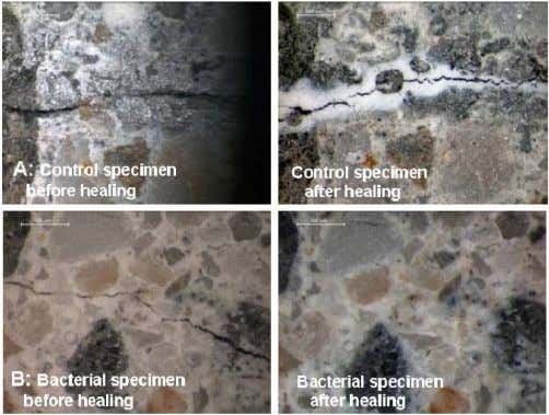 survive longer until the moment that self healing is needed. Figure 3. Cracked concrete specimens containing