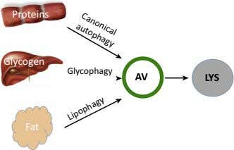 AV LYS Glycophagy Lipophagy Canonical autophagy Proteins Glycogen Fat