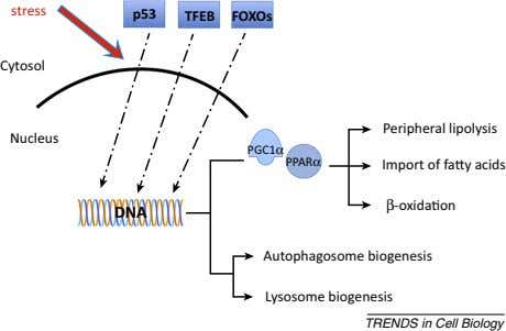 PPARα PGC1α TFEB FOXOs Nucleus stress DNA p53 Cytosol Peripheral lipolysis Import of fa y acids
