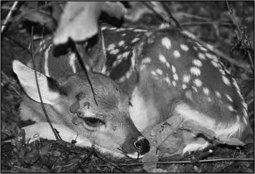 of the year, it's natural for the bucks to fight among When a fawn is discovered