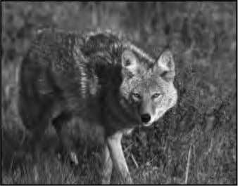 committed by coyotes that are starving, injured, diseased or threatened. Coyote removal may be the only