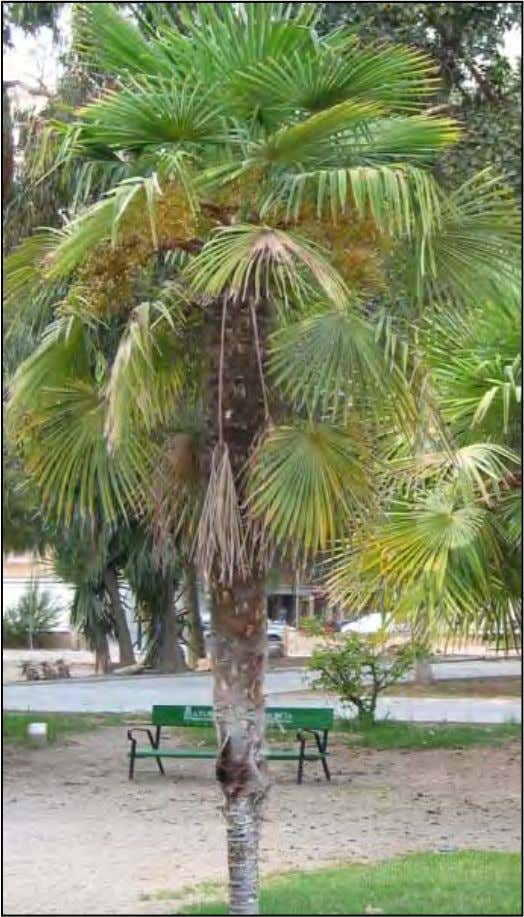 de 1,2 cm de longitud, de color negro azulado. Es nativa de China. TrachycarpusTrachycarpus fortuneifortunei