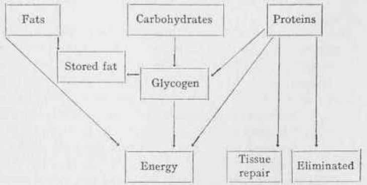 Interconversion of Carbohydrate, Protein and Fat Introduction Carbohydrates, fats and oils and proteins are the major