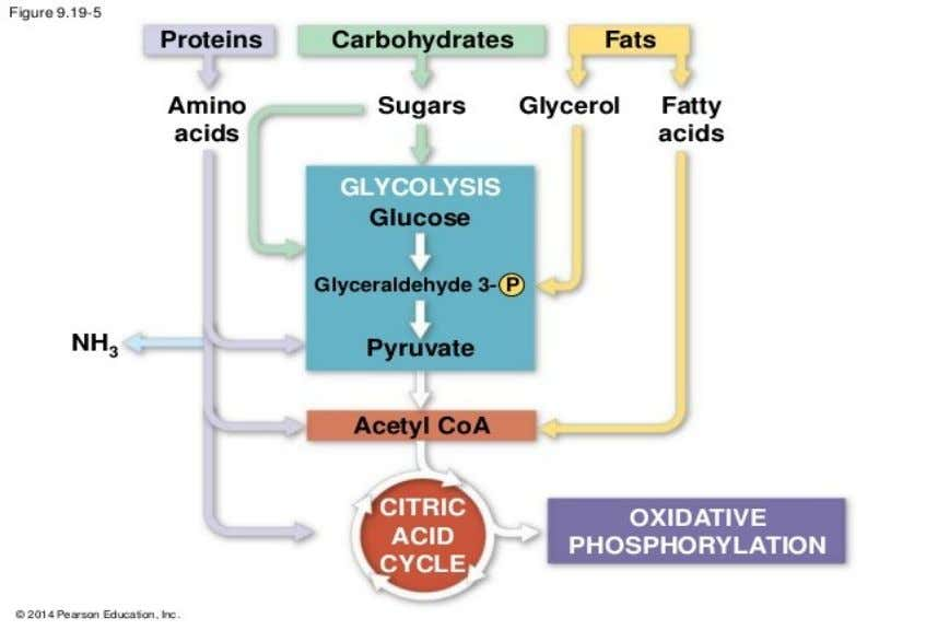 Fig: Involvement of Carbohydrate, Protein and fat in TCA cycle Conclusion: The macronutrients needed for our