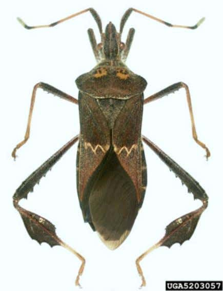 de hoja ancha occidental - Leptoglossus zonatus (Dallas) Figura 2. Chinche occidental adultas, Leptoglossus zonatus