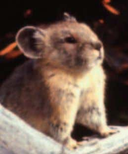 CO 2 emissions continue un- abated in the decades ahead. The American pika is a cold-adapted