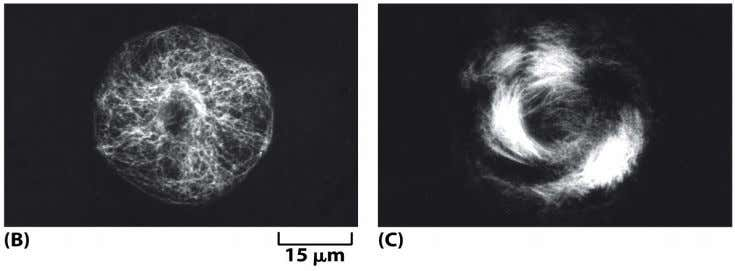 Figure 16-23b,c Molecular Biology of the Cell (© Garland Science 2008)