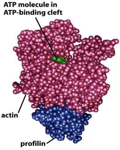 Figure 16-37 Molecular Biology of the Cell (© Garland Science 2008)