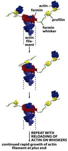 Figure 16-38 Molecular Biology of the Cell (© Garland Science 2008)