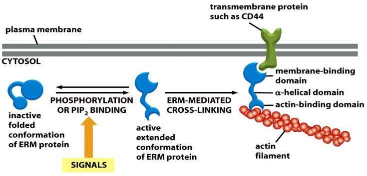 Figure 16-53 Molecular Biology of the Cell (© Garland Science 2008)