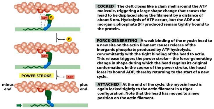 Figure 16-61 (part 2 of 2) Molecular Biology of the Cell (© Garland Science 2008)