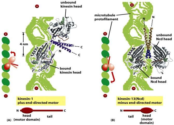 Figure 16-63 Molecular Biology of the Cell (© Garland Science 2008)