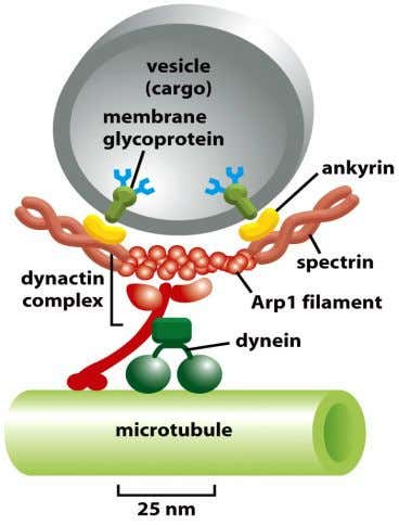 Figure 16-67 Molecular Biology of the Cell (© Garland Science 2008)