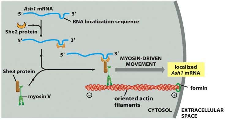 Figure 16-69a Molecular Biology of the Cell (© Garland Science 2008)