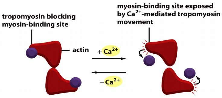 Figure 16-78b Molecular Biology of the Cell (© Garland Science 2008)
