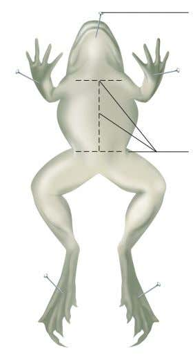 Pin Incisions Figure 63.1 Pin the frog to the dissecting tray and make incisions through