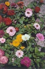 locusts, maples, pines, rhododendrons, spruces, and yews. Zinnias are a riot of color at the end