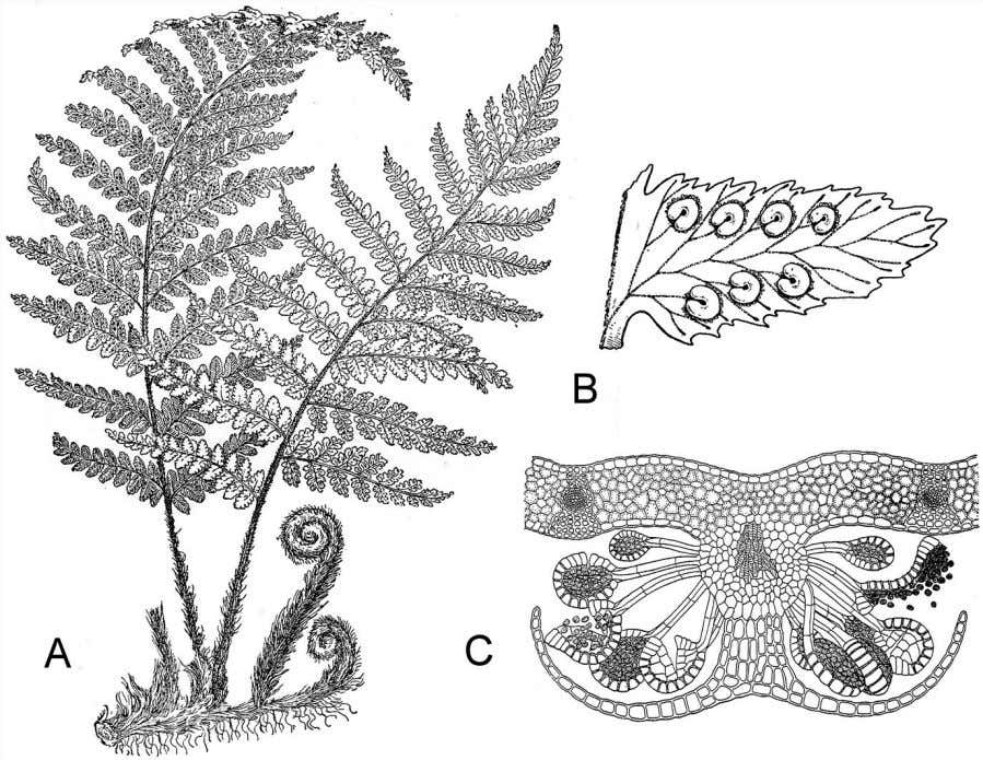 82 Plant Life Figure 4.8 A. The upright frond of a fern is a complex megaphyll