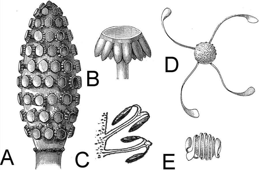 The spore-bearing cones (A) of horsetails consist of tightly packed, shield-like units (B) that hide