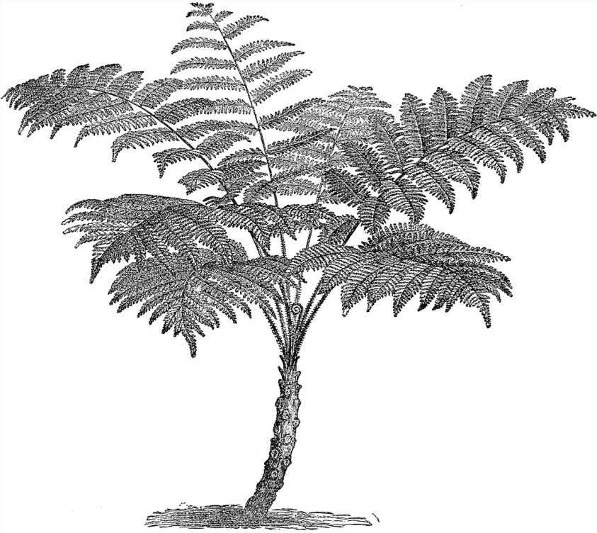 with wood. Wood consists of layers of the water-conducting Figure 4.15 A tree fern, of the