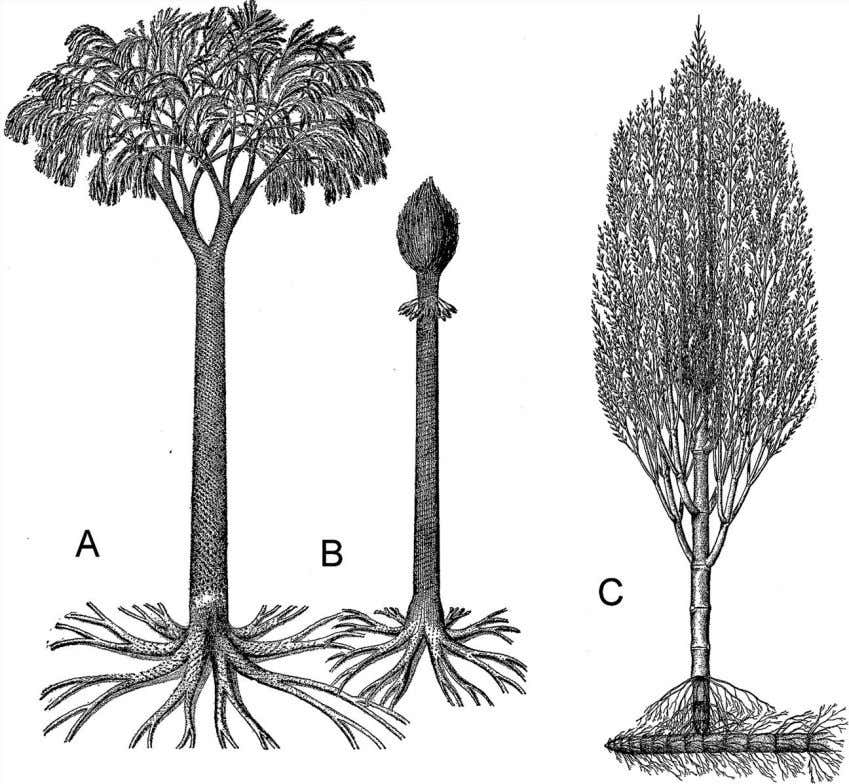 and to the outside (phloem). Drawing (A) from Ganong 1916. Figure 4.17 Two treelike lycopods from