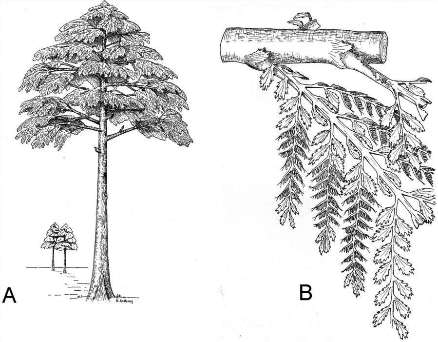 Vascular Plants and the R ise of Trees 91 Figure 4.18 Archaeopteris (A) had well-developed woody