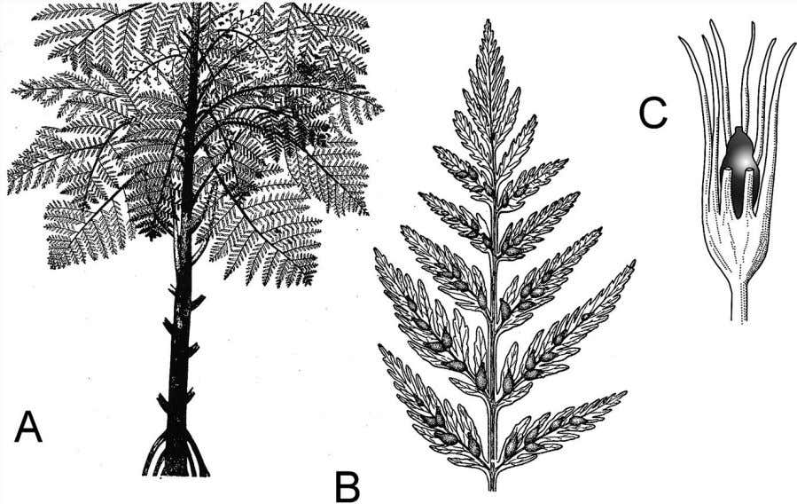 102 Plant Life Figure 5.6 Seed ferns were the first true seed plants, and their seeds