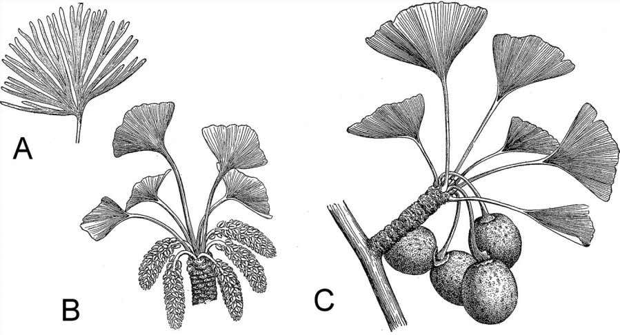 Seeds and the Gymnosperms 105 Figure 5.8 The leaf of the ancient ginkgophyte, Baiera gracilis ,