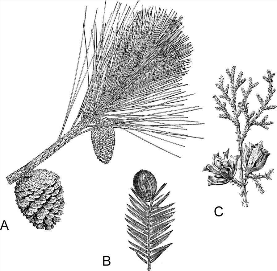 growth at the base, similar to the growth of internodes Figure 5.9 Conifers have needlelike, scalelike,