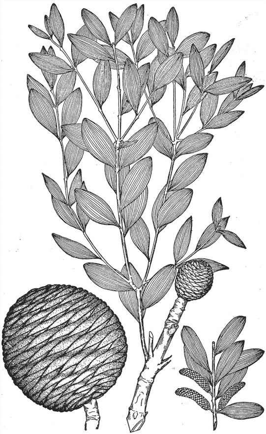 Seeds and the Gymnosperms 107 Figure 5.10 Agathis is a conifer from the southern hemisphere, where
