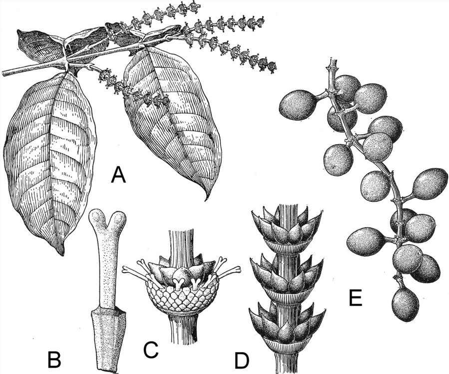 leaf segments radiating from the edges (see Fig. 5.1). Gnetum has broad, net-veined leaves (A), similar