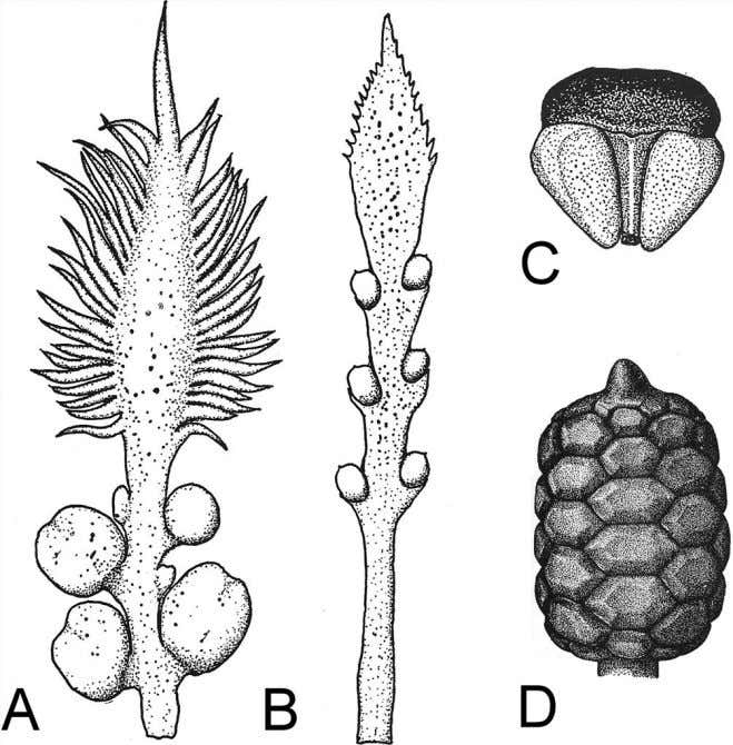 and Bowenia spectabilis (B). Drawings from Seward 1917. Figure 5.16 The ovule-bearing structures of the genus
