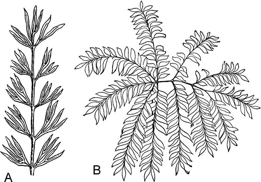 Figure 5.15 Two modern cycads with compound leaflets are Cycas micholitzii (A) and Bowenia spectabilis